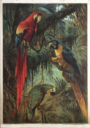 31 - Papoušci ameri?tí