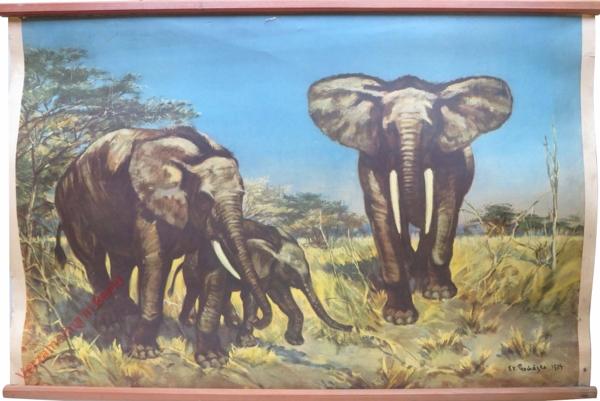 37 - Slon africký