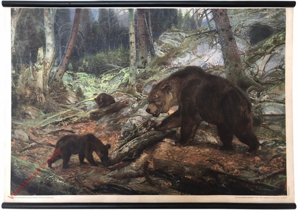 13 - Medv?d jeskynní