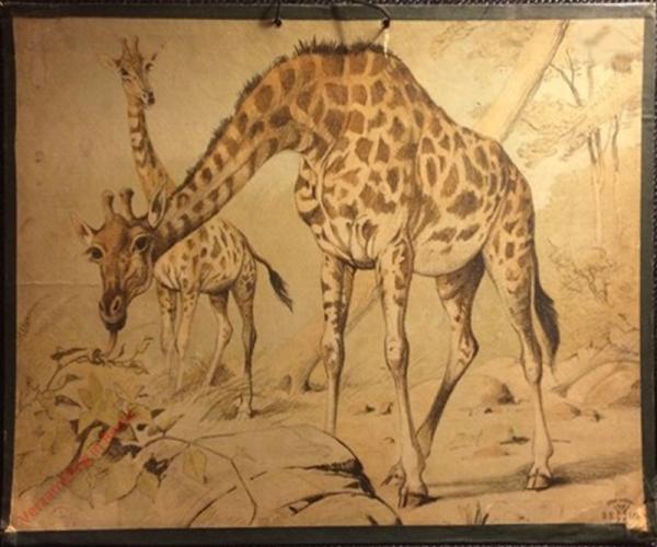 DB 107 - Giraffe