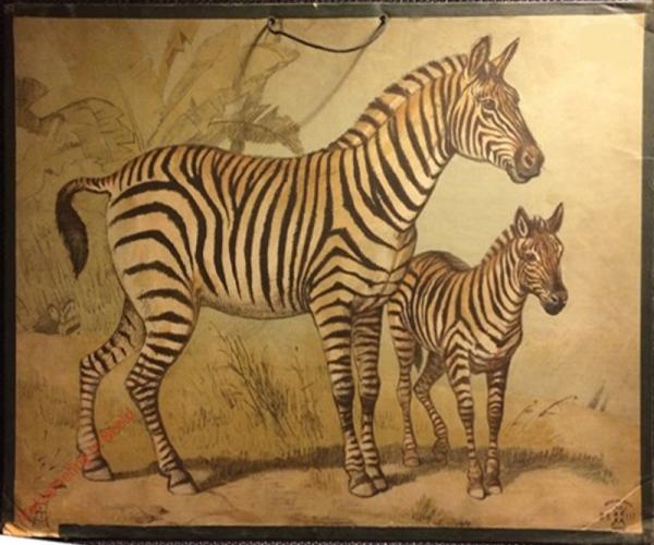 DB 111 - Zebra