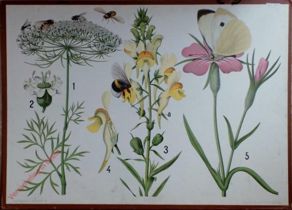 3 - Insectenbevruchting (schermbloem, leeuwenbek, wilde anjer)