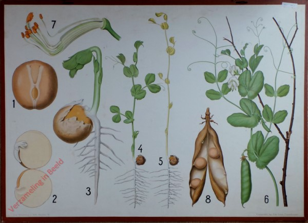 4 - Erwt, Vlinderbloemigen: van zaad tot zaailing