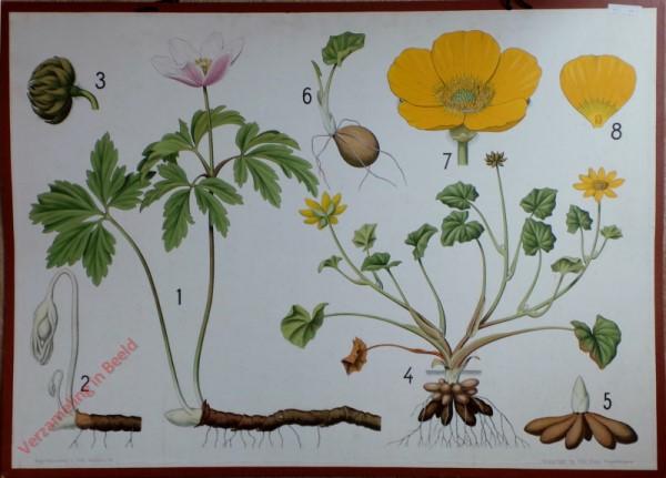 6 - Anemone, scharfer Hahnefusz, Feigwurz