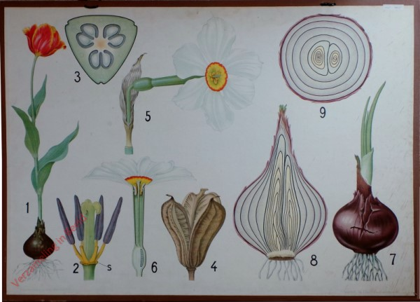 7 - Tulp, Narcis