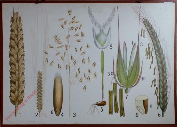 8 - Weizen, Gerste, Hafer, Roggen, Samen und Keimung
