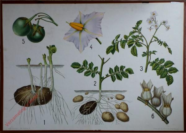 10 - Kartoffel mit Einzelbl�te und Bilsenkraut