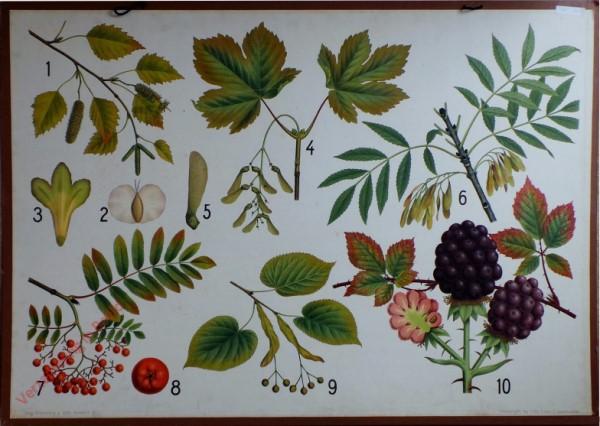 11 - Berk, esdoorn, linde, es, lijsterbes