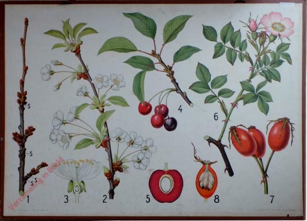 15 - Kirsche und Rose