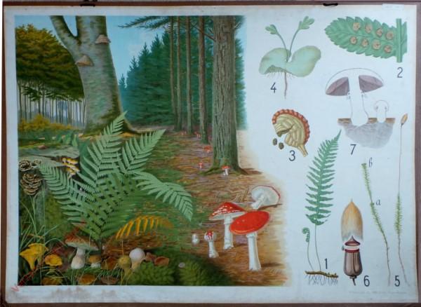 16 - Varens, mossen en paddenstoelen (Vliegenzwam)