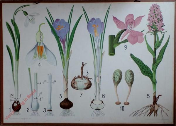 17 - Sneeuwklokje, Krokus, Orchidee