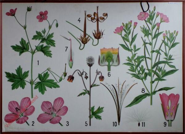18 - Nelkenkraut, Storchschnabel, Weidenr�schen