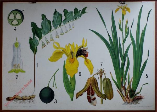 21 - Gele lis, Salomonszegel