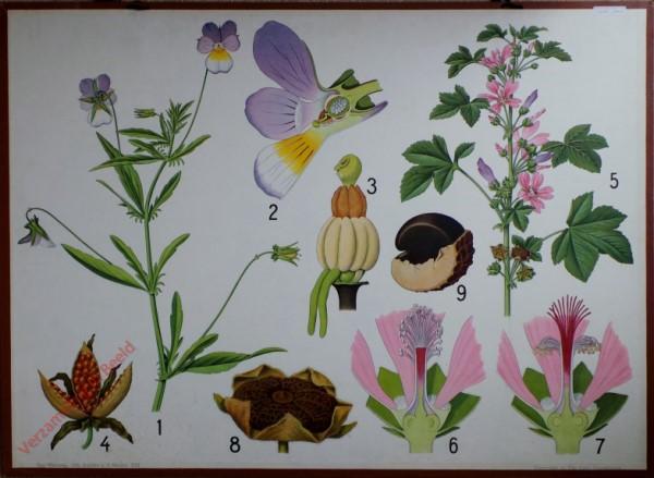 22 - [Driekleurig viooltje]