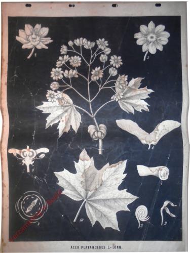 Acer platanoides L. - L�nn