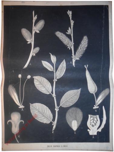 Salix caprea L. - S�lg