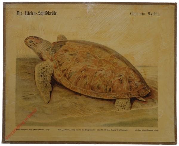 23 - Der Riesen-Schildkr�te (Chelone imbricata)