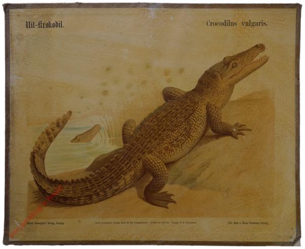 24 - Nil-krokodil (Crocodilus vulgaris)