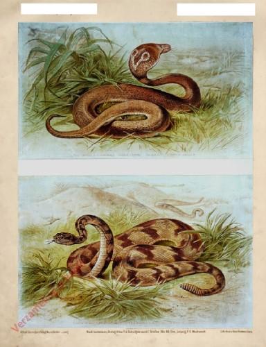 25 - Brillenschlange (Naja tripudians), Klapperschlange (Crotalus durissus)