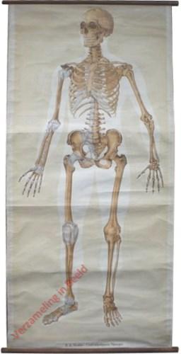 1 - Skelett