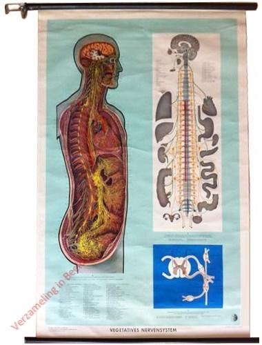 2 - Vegatatieves Nervensystem