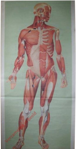 2A - Muskeln (Forneseite)