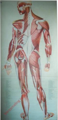 2B - Muskeln (Rückseite)