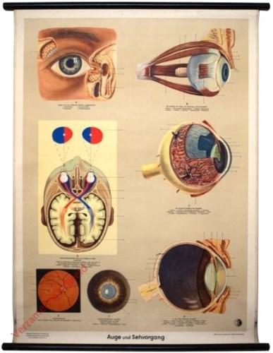 6 - Auge und Sehvorgang