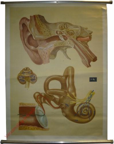 7 - Ohr und Hörvorgang