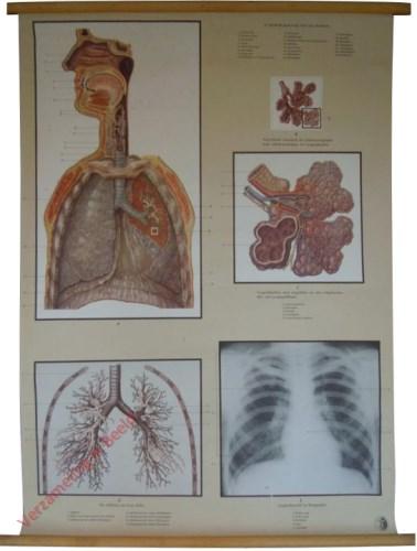 10 - Die Atmungsorgane