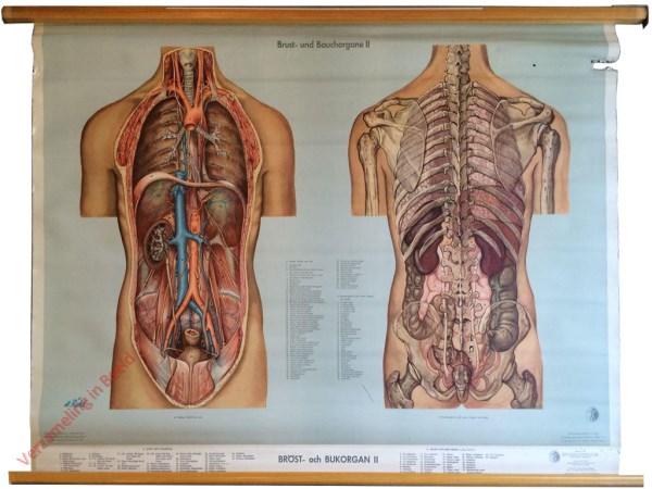 18 - Brust- und Bauchorgane II