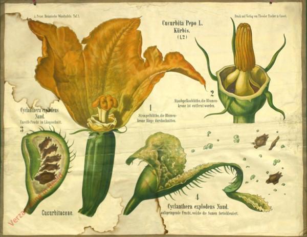 1 - Cucurbitaceae