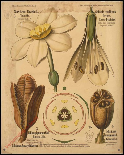 4 - Liliacea, Amaryllidacea