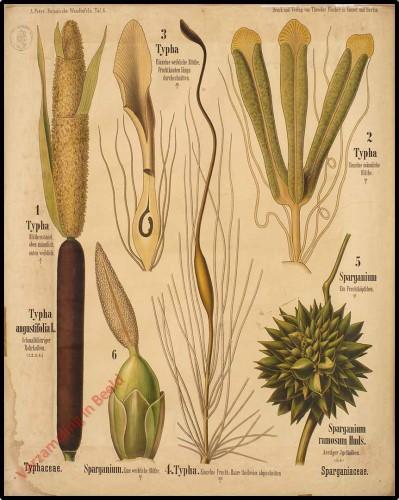 6 - Typhacea