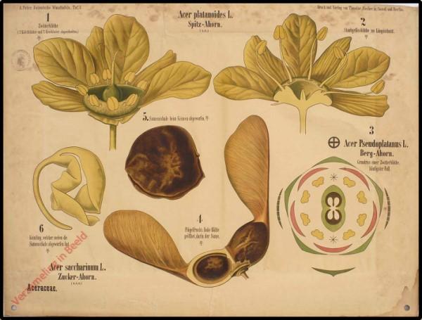 7 - Aceraceae