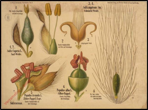 9 - Salicacea