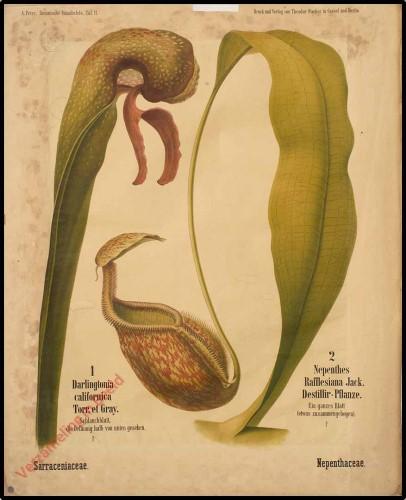 11 - Sarraceniaceae