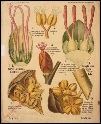 12 - Betulacea