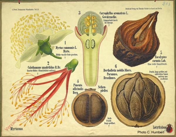 13 - Lecythidae (Myrtaceae)