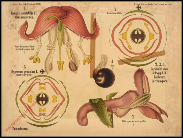 15 - Fumariaceae