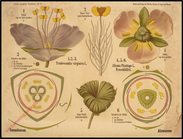 18 - Commelinaceae, Alismaceae