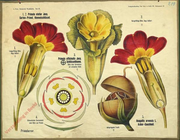 19 - Primulaceae