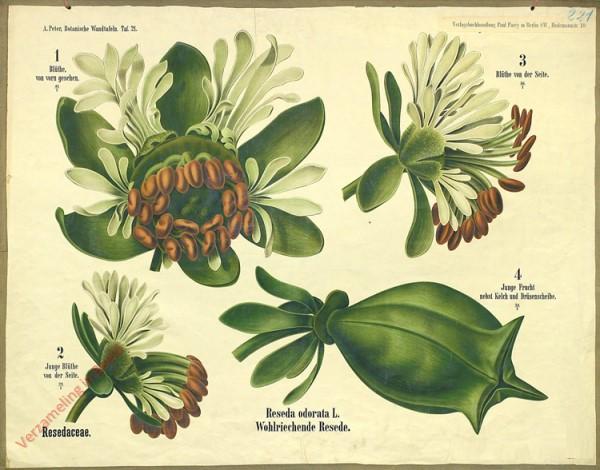 21 - Resedaceae