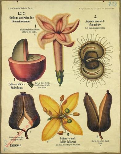 22 - Rubiaceae