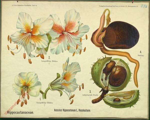 24 - Hippocastanaceae