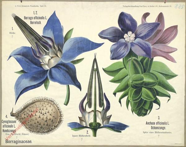 25 - Borraginaceae