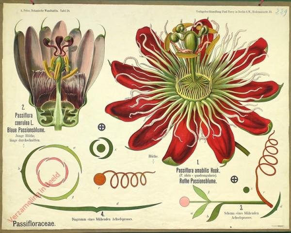 29 - Passifloracea