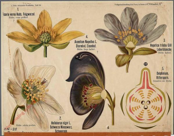 30 - Ranunculaceae