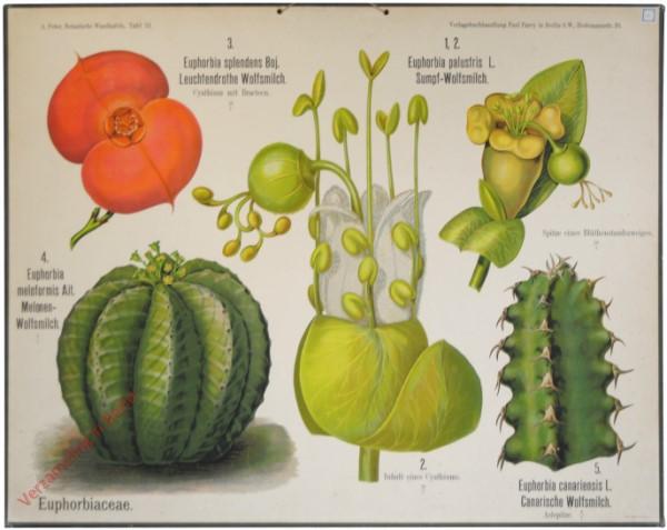 31 - Euphorbiacea