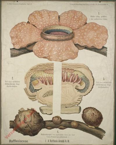 32 - Rafflesiacea